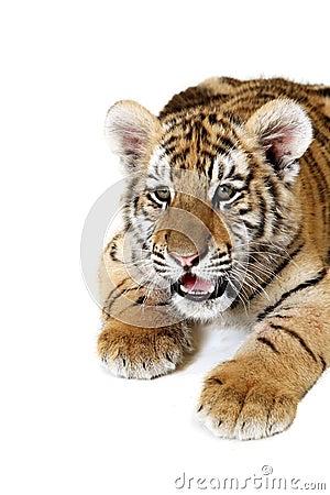 Tigre Cub siberiano
