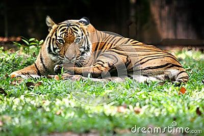 Tigre de Bengal