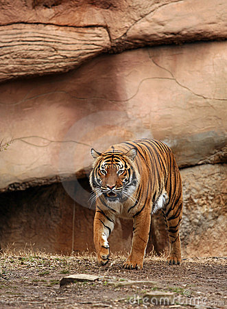 Tigre de Bengala de acecho