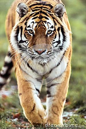 Tigre di appostamenti