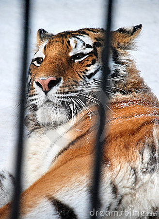 Tigre en una jaula