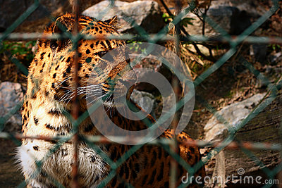 Tigre in giardino zoologico