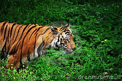 Tigre no Prowl