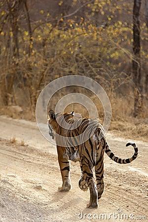 Tigre en el vagabundeo.