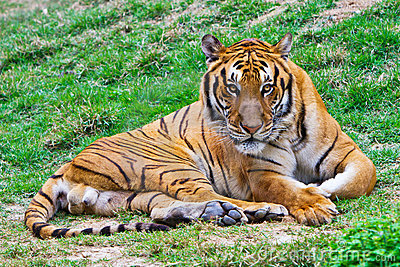 Tigre que olha fixamente em você