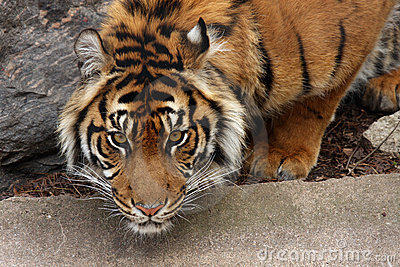Tigre que se agacha