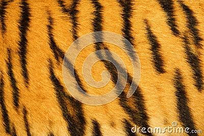 Tigre Réel De Texture De Fourrure Photographie stock libre de droits ...: fr.dreamstime.com/photographie-stock-libre-de-droits-tigre-réel-de...