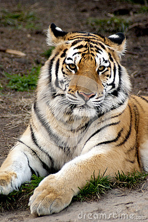 Tigre Siberian (altaica de tigris do Panthera)