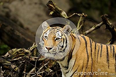 Tigre siberiana (altaica del tigris del Panthera)