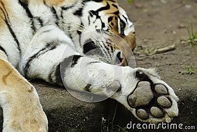 Tigre siberiano (altaica de tigris del Panthera)