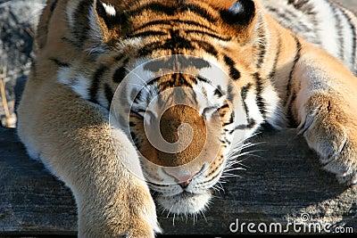 Tigre siberiano que coloca