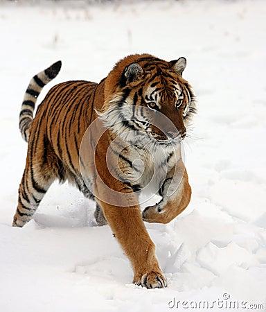 Tigre siberiano que se ejecuta en nieve