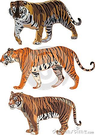 Tigre siberiano, tigre de Sumatran, tigre de Bengala