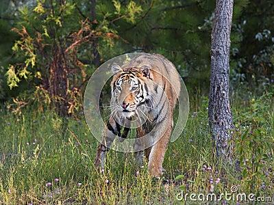 Tigre sur le vagabondage