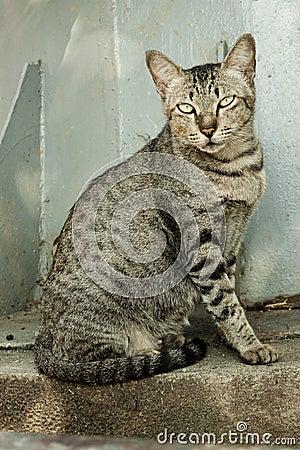 Tigre tailandese di colore del gatto fotografie stock - Immagine del gatto a colori ...