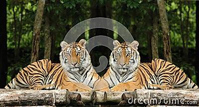 Tigres indo-chinois