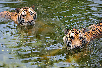 Tigres na água