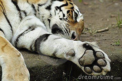 тигр tigris panthera altaica siberian