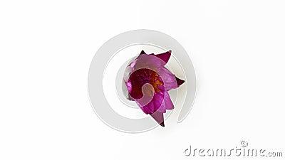 Tijdstip openen van een roze waterlelenbloem stock videobeelden