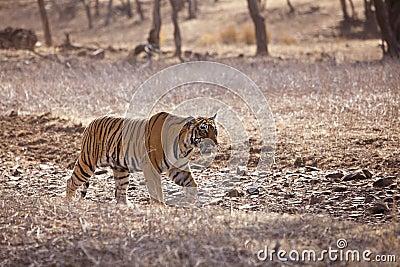 De tijger op snuffelt rond.