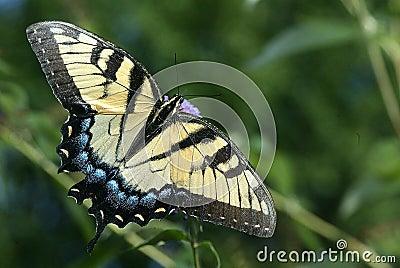 Tijger Swallowtail
