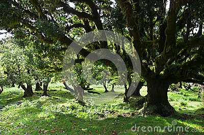 Til trees of 500 years old, Madeira Stock Photo