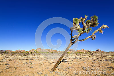 Tilted Joshua Tree