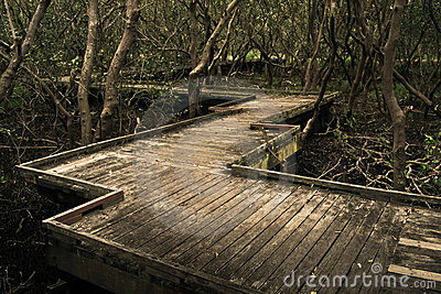 Timber boardwalk through dark mangroves