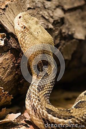 Free Timber Rattlesnake - Cranebrake Rattlesnake - Crotalus Horridus Royalty Free Stock Image - 1046226