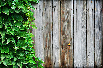 Timber wall and wild vine leaves