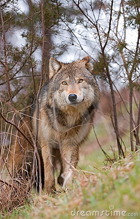 Timber Wolf In Brush