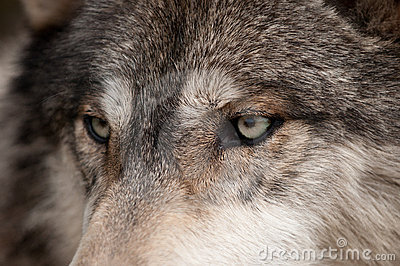 Timber Wolf (Canis lupus) Eyes