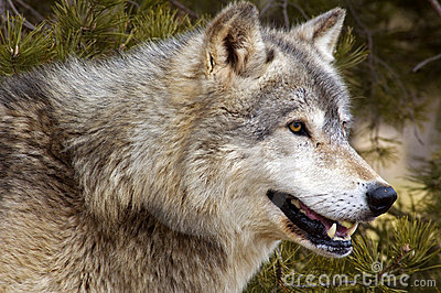 Timber Wolf (Canis lupus) - Horizontal