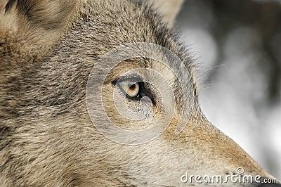 Timber Wolf Eye