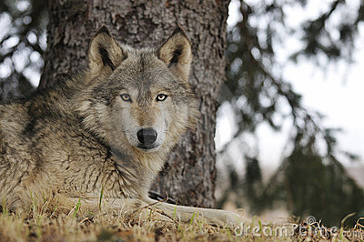 Timber Wolf Hangs out under Pine Tree