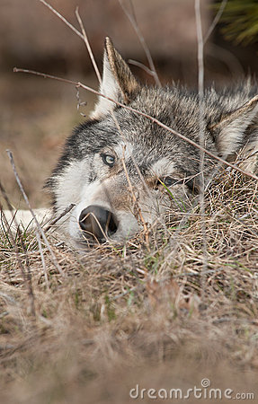 Timber Wolf Lies Looking Through Grasses