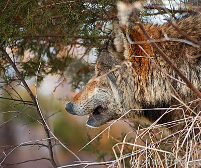 Timber Wolf Looks Out - Brush