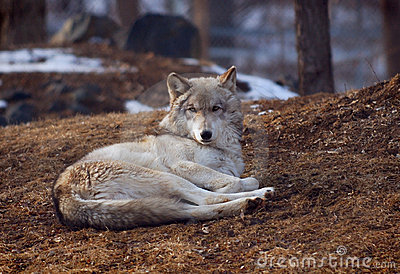 Wolf lying on back - photo#18