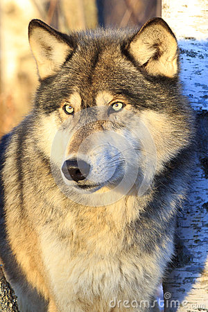 Free Timber Wolf Portrait Stock Photos - 84254063