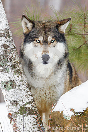 Free Timber Wolf Portrait Stock Photography - 84781322