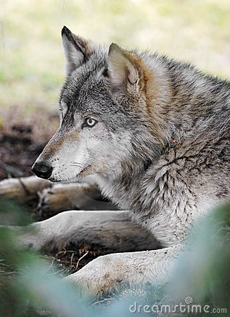 Timber Wolf Rests