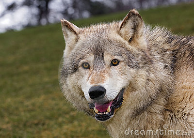 Timber Wolf Stare with Hill