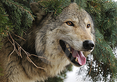 Timber Wolf Sticks Head out from under Pine Tree