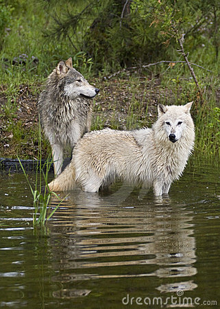 Pair of timber wolves at lake with reflection