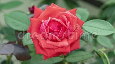Time Lapse Of Red Rose Growing Blossom From Half To Big Flower On Green Leaves Background In Sunny Garden 4k Movie Stock Footage Video Of Growing Fresh 151754490