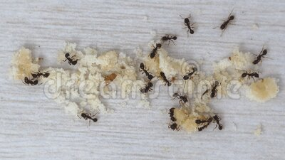 Timelapse of Ants cleaning up big pile of crumbs stock video footage