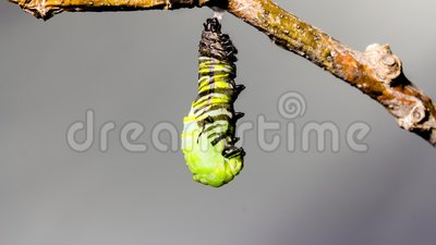 Timelapse Monarch Caterpillar Turns into a Chrysalis Time-lapse in 4K