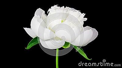 Timelapse van witte pioenbloem die op zwarte achtergrond bloeien stock videobeelden