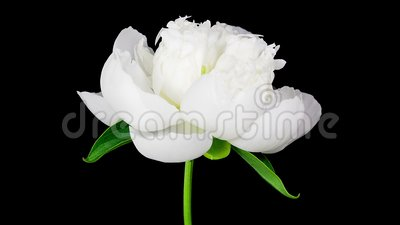 Timelapse of white peony flower blooming on black background. Timelapse of white peony flower blooming opening on pure black background on short stem no leaves stock video footage