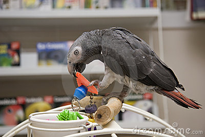Timneh African Grey Stock Photos - Image: 2108943
